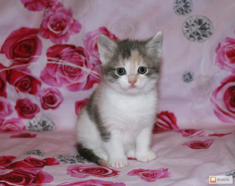 Обьявление о продаже котят дать объявление доска объявлений сниму квартиру