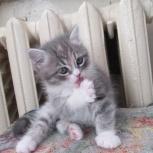Бело -голубой экзотик котенок, Нижний Новгород