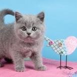 Голубые британские котята!, Нижний Новгород