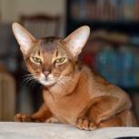 абиссинский кот для вязки, Нижний Новгород
