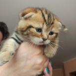 Котята породы Scottish, Нижний Новгород