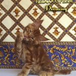 Котенок мейн кун красный солид. Шоу класс., Нижний Новгород
