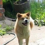 Акита ину щенки, Нижний Новгород