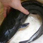 Живая рыба - африканский клариевый сом, Нижний Новгород