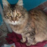 Кошка Черепашка ищет дом!, Нижний Новгород
