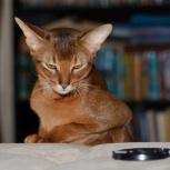 абиссинский кот на вязку, Нижний Новгород