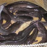 Продажа живой рыбы, Нижний Новгород