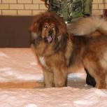 Крупный тибетский мастиф приглашает девочек на вязку, Нижний Новгород