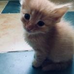 Отдам котёнка «Рыжее счастье» в добрые руки, Нижний Новгород