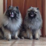 Породные щенки вольфшпица (кеесхонда), Нижний Новгород