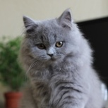 Британская длинношерстная кошка (Хайлендер), Нижний Новгород