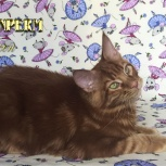 Вы когда-нибудь видели коричневого мейн куна? Котята, Нижний Новгород
