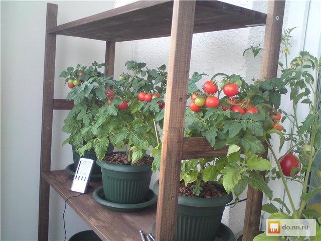 Комнатные помидорки и перчики , фото. цена - договорная., ни.