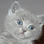Британские голубые котята, Нижний Новгород